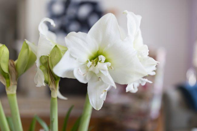TNPLH: Amaryllis Bulb 3